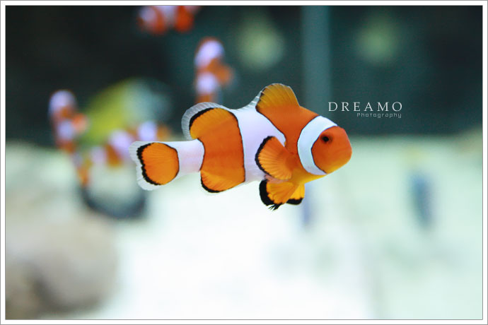 clownfish3 by D-R-E-A-M-O