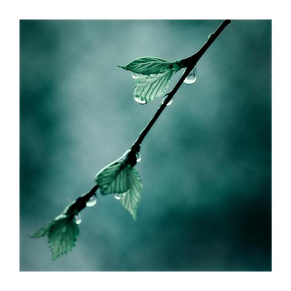 Birch Twig by 4k1