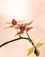 Sweet Orchid Of Mine by 4k1