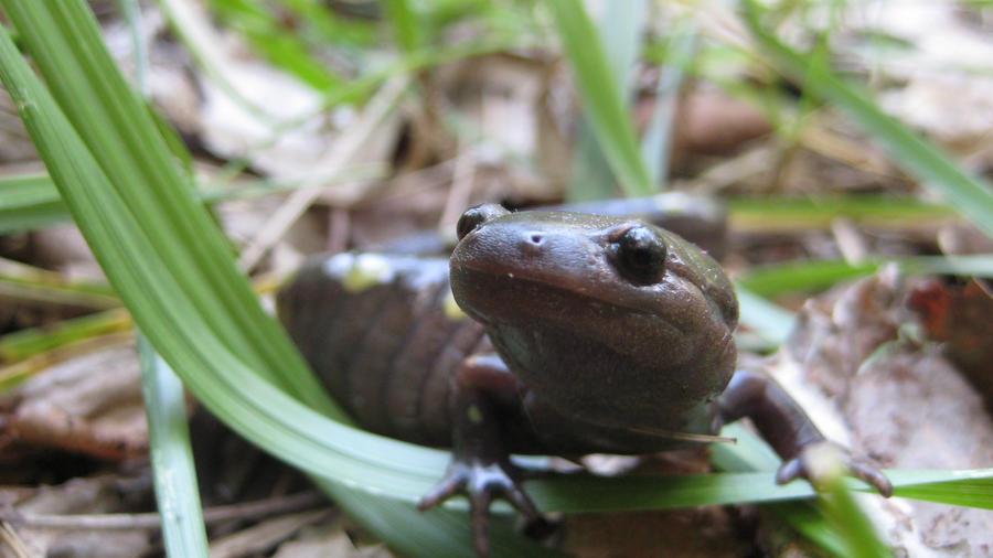 Salamander by mehheidi