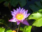 water lily bali