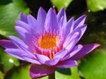 water lily bali 2