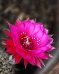 Cactus flower 1168