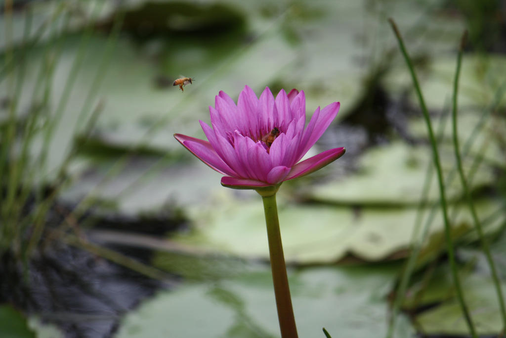 Water lily 2701 by fa-stock