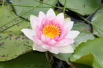 Water lily 3431 by fa-stock
