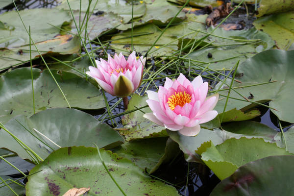 Water lily 3439