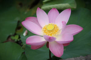 Lotus flower 6753 by fa-stock
