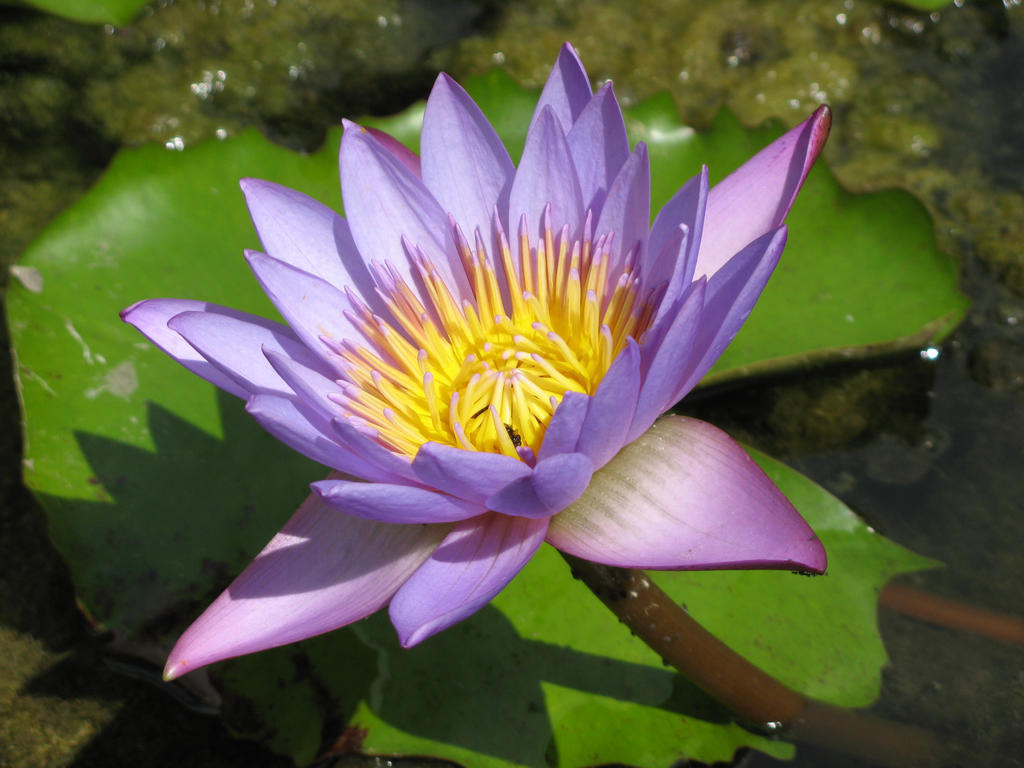 Water lily 1918