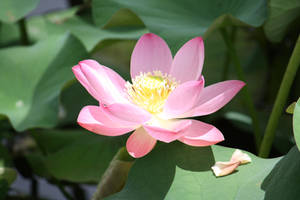 Lotus flower 6743 by fa-stock