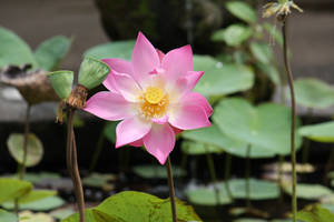 Lotus flower 7003 by fa-stock