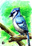 Blue Jay Water Color for my Grandmother