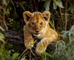 Kenya Cub by FortuneFoundTheSun63