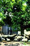 ovci statek Sheep Farm