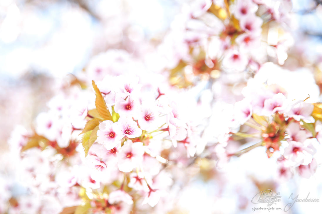Springtime Cherryblossoms by CJacobssonFoto