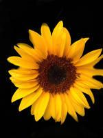 sunflower by NIEHKOL
