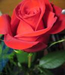 red rose part deux