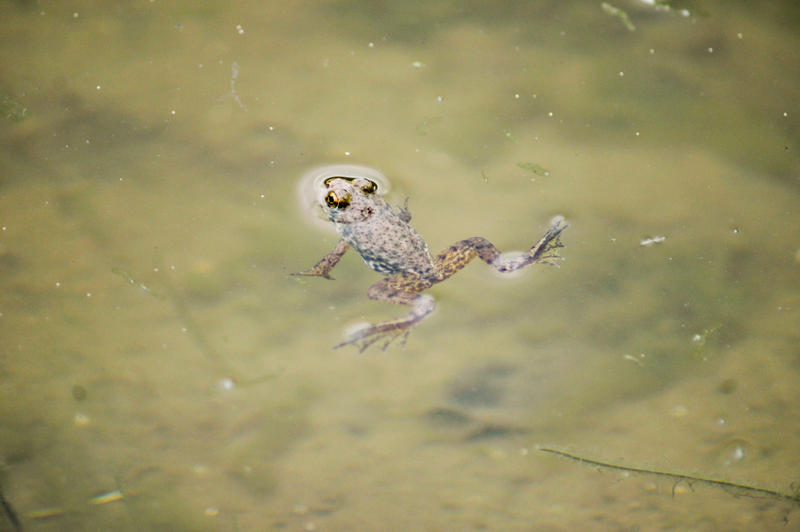 Floating Frog by kerrybush42