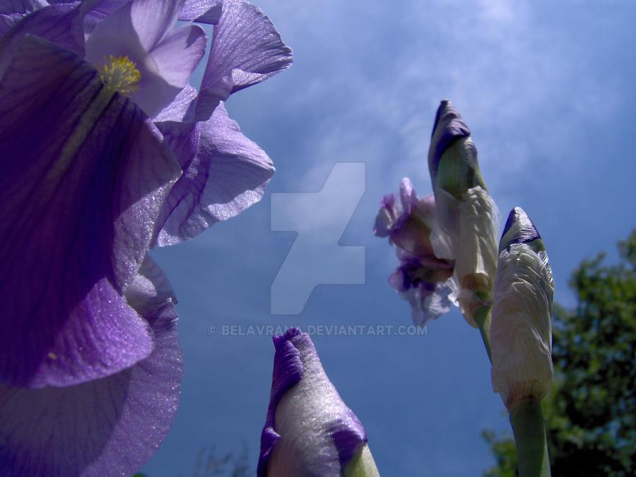 Lavender Irises by belavrana