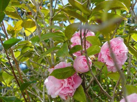 Camellia -- 1-10-08