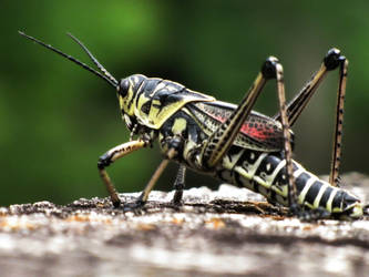 Grasshopper -- 7-31-09 - 2 by thoriseador