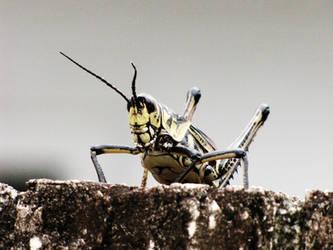 Grasshopper -- 7-31-09 - 3 by thoriseador