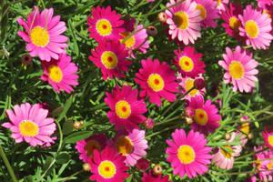 Pink Marguerite Daisies