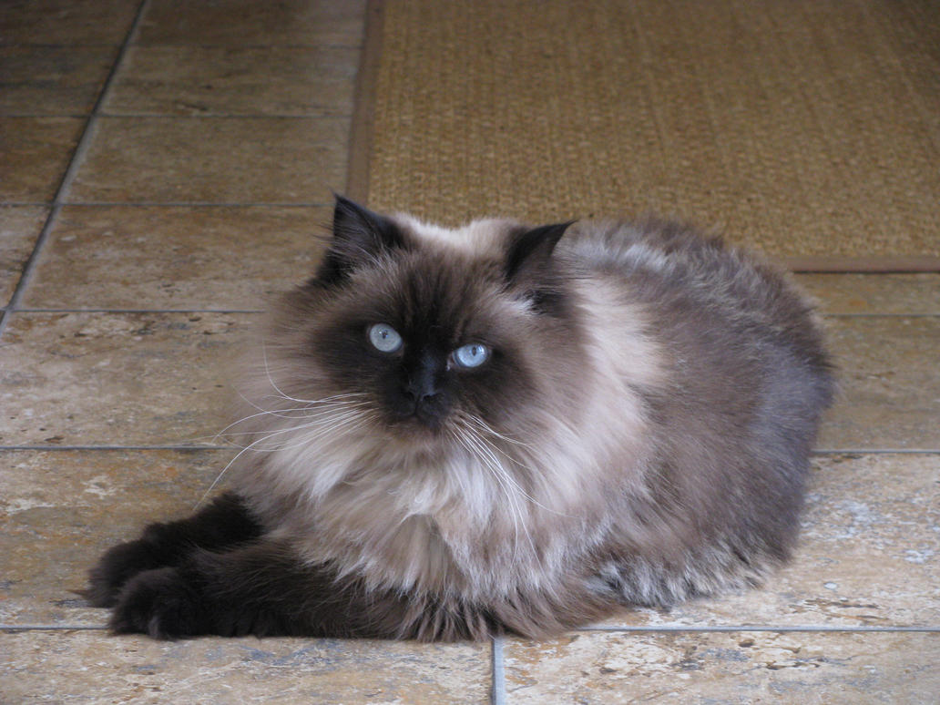 calico cats female
