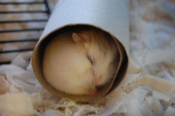 Hamster dormant