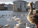 Duck at Reykjavik City Pond