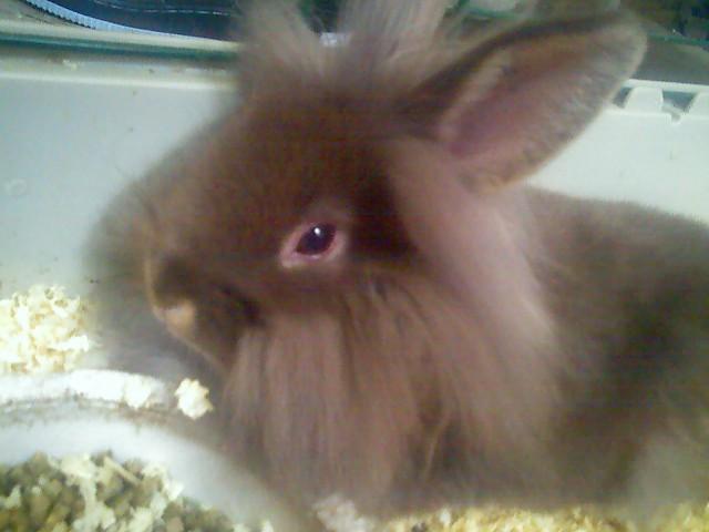 Lionhead rabbit _Leon_ by HaunLang on DeviantArt