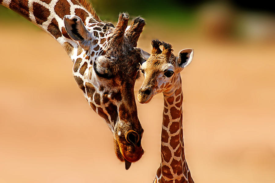 Giraffe family by valkyrjan