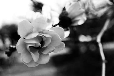 Black and White Flower by valkyrjan