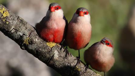 Three Little Birds by 123456kamumember