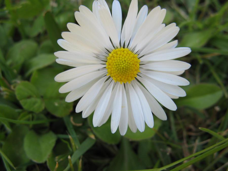 Daisy Flowers & Plants wallpaper
