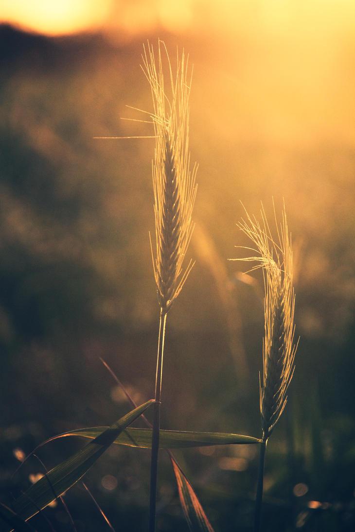 Wheat by skypho
