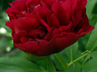 Peony Rose by infra666