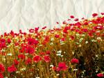 poppy by zielonakupa