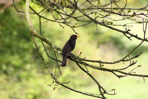 Blackbird by JetteReitsma