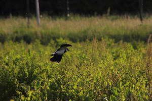 Northern Lapwing flying and protecting its baby by JetteReitsma