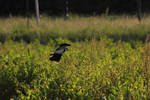 Northern Lapwing flying and protecting its baby
