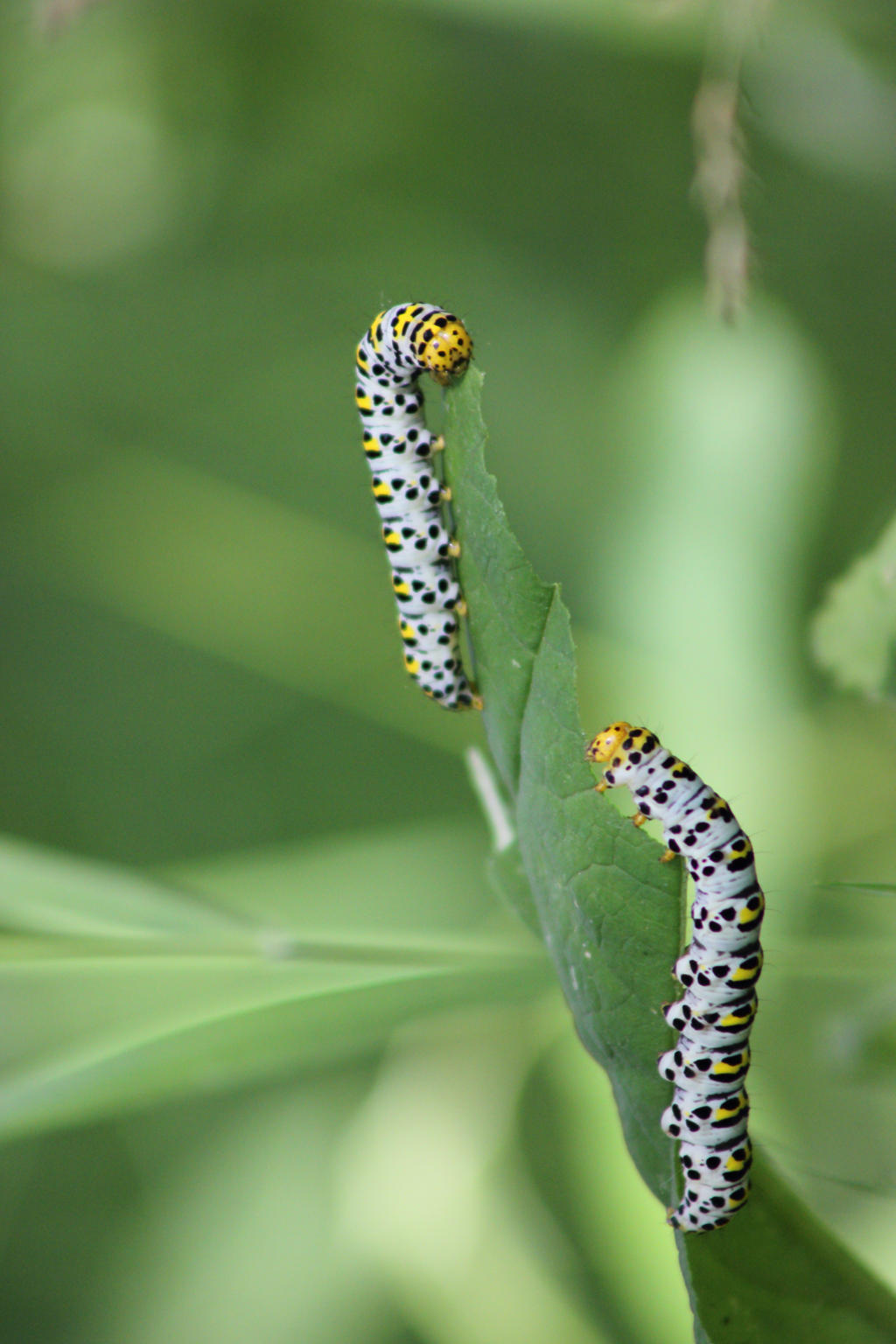 Two caterpillars by JetteReitsma