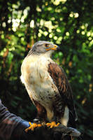 The ferruginous hawk by JetteReitsma