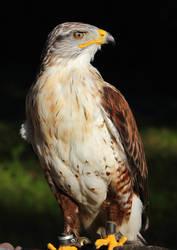 Ferruginous hawk 2 by JetteReitsma