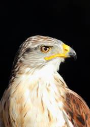 Ferruginous hawk by JetteReitsma