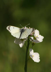 The orange tip by JetteReitsma