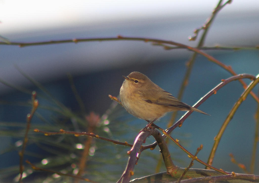 The chiffchaff by JetteReitsma