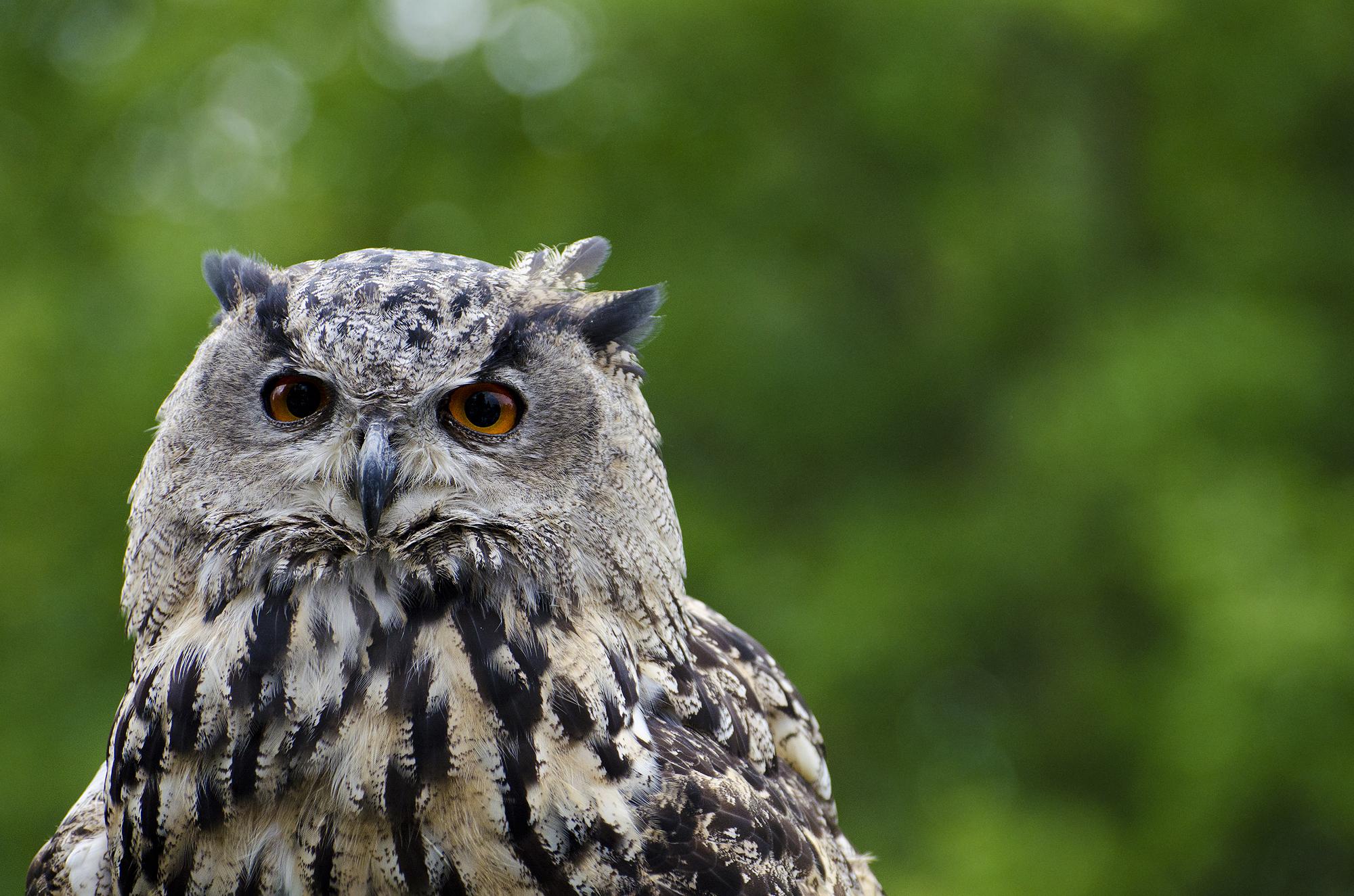 eagle owl 001 by werram