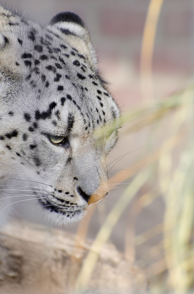 snow leopard by werram