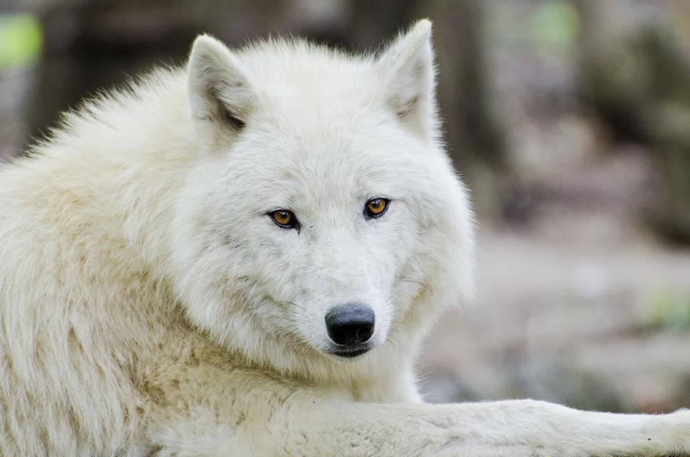 Arctic Wolf by werram
