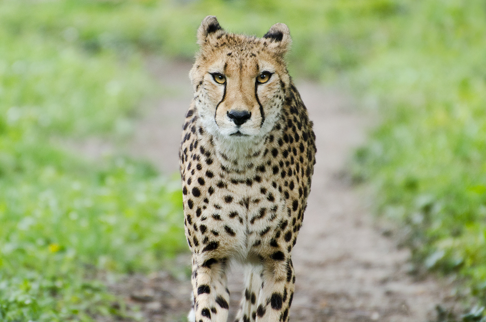 Cheetah IV by werram